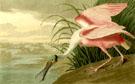 Roseate Spoonbill 1935 - John James Audubon