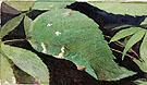 White Birch Leaf Edge Caterpillar - Abbott Handerson Thayer