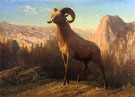 A Rocky Mountain Sheep Ovis Montana 1879 - Albert Bierstadt